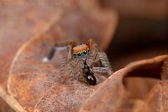 Saitis barbipes, mâle s'accordant une pause-repas (Cieutat) (G. Pottier) Tags: saitisbarbipes saltique jumpingspider salticidae araignéesauteuse araignée spider saitis