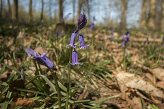 The first Bluebells of the year (marc_morris1982) Tags: flower spring bluebell blue bell leaves leaf wood woods woodland kent challock kingswood kings springtime outdoors outside out walking trees tree purple nature aonb kentaonb kentareaofnaturalbeauty canon canon70 canon70d 70d canon1018 canon1018mm 1018 1018mm eos canoneos ef1018 efs1018 ef1018mm efs1018mm lens canonuk england