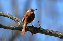 brown thrasher (don.white55 never caught up) Tags: brownthrashertoxostomarufum brownthrasher hummelstown pennsylvania tamronsp150600mmf563divcusda011 donwhite donpwhitephotography canone0s7od canoneos70dtamronsp150600mmf563divcusda011 bird birdwatching backyard composition eye feathers harrisburgwildlife nature outdoors pennsylvaniawildlife perched thrasher wildlife yelloweye