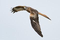 Red kite (Shane Jones) Tags: redkite kite raptor bird birdinflight birdofprey nature wildlife nikon d500 200400vr tc14eii