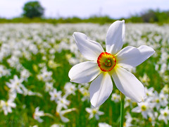 (Alin B.) Tags: alinbrotea nature spring dafodils flower scent smell white narcise narcissus