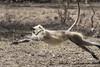 langur (Shubh M Singh) Tags: hanuman langur ranthambhore india rajasthan wildlife