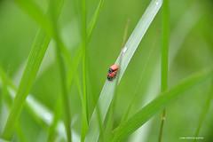 Is it true love? (JSB PHOTOGRAPHS) Tags: jsb116800004 ladybug ladybird grass bokehlicious bokeh bugs nikon d600 28300mm