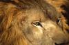 ZOO0011-2 (Akira Uchiyama) Tags: 動物たちのいろいろ 目 目ライオン