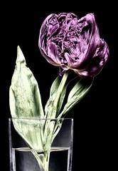 170418_tulip_daf_7134-Edit_b (james abelson) Tags: irvingpenn daffodills flowers penn springflowers stilllife tulip