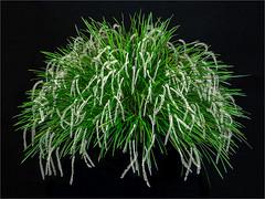 Dendrochillim stenophyllum 'Regency Burst' (TJMORTON1) Tags: orchid aos americanorchidsociety canon6d potw selected2017