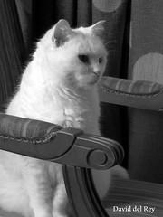 Margot (David del Rey78) Tags: cat kitty kitten gata gato gatinho gatinha pussy pussycat felina feline felino furry peludo peluda white blackandwhite monochrome monochromatic portrait retrato whiskers bigotes blanca blanche bianco bianchi mascota pet cute sweet pretty adorbale cats gatos gatas