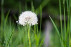 Blowball / Pusteblume (NEX69) Tags: dandelion löwenzahn blowball pusteblume fe90mmf28macrogoss sonyalpha7ii sonya7ii sonyilce7m2