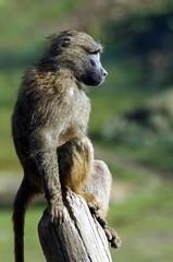 in der Morgensonne  - enjoy the morning sun (Frank S (aka Knarfs1)) Tags: zoom zoo gelsenkirchen pavian affe ape mamal säugetier primat