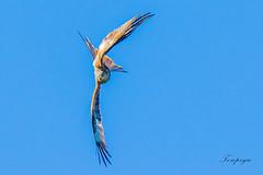 dipinto di luce (Tonpiga) Tags: tonpiga faunaselvatica uccelliinlibertà rapace predatore nibbioreale