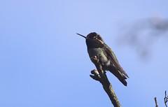 Hummingbird (careth@2012) Tags: hummingbird nature wildlife bird feathers beak perched branch