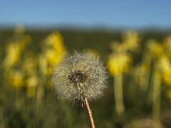 Dandelion Clock and Cowslips (stevedewey2000) Tags: flora wiltshire salisburyplain macro flowers wildflowers cowslips cowslip dandelion seeds clock minolta50mmf28macro