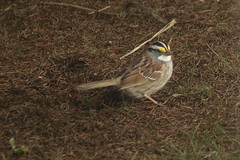 White-Throated Sparrow Out And About 005 - Zonotrichia Albicollis (Chrisser) Tags: birds bird sparrows sparrow whitethroatedsparrows whitethroatedsparrow zonotrichiaalbicollis nature ontario canada canoneosrebelt6i canonef75300mmf456iiiusmlens emberizidae