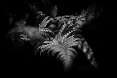 Fern (kooyami) Tags: monochrome macro makro flora fern farn schadows schatten botanischergarten leicaq leica light