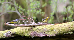 Grey Wagtails pairing up!! (Georgiegirl2015) Tags: birds bbcwalesnature bird canon countryside carmarthenshire ef300mm spring sunny wildlife woodlands wales avian rspb river grey wagtail