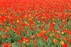 Dutch Tulips (Roelie Wilms) Tags: tulips tulpen tulp rood red lisse nederland