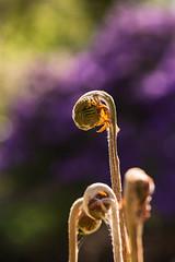 1704_Botanischer Garten HB_17.jpg (Kerstin_Butenbremer) Tags: farn bokeh botanischer garten bremen macro nikon 105mm flowers
