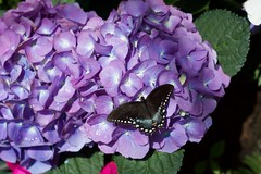 Black Butterfly (logan.m.thomas) Tags: butterfly mariposa negra preta flor black purple butterflygarden