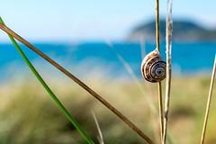 near the windy beach (Andreas.W.) Tags: sand beach dune düne gras grashalm schnecke snail toskana toscana piobino toskany makro macro zwischenring meer mare sea seaside coast küste strand schneckenhaus