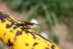 Borboleta bairro São João JM - Wir Caetano - 26 04 2017 (31) (dabliê texto imagem - Comunicação Visual e Jorn) Tags: borboleta inseto amarelo escada ferrugem