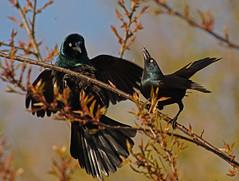 Uncommon Behaivior (SteveJnerChicago) Tags: commongrackle bird nature wildlife chicago illinois