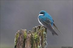 Rainy Day Tree Swallow (Daniel Cadieux) Tags: swallow treeswallow perch perched moss lichen mossyperch weatheredperch rain raining precipitation ottawa blue