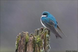 Rainy Day Tree Swallow
