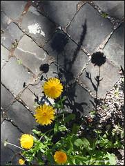 Ringelblume (Calendula officinalis) (Jolanda Donné) Tags: ringelblume calendulaofficinalis asternartigeasterales korbblütlerasteraceae flora lichtundschatten 24062015 nikoncoolpixp610