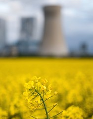 Deep in field (Carlos Lacano) Tags: flower field yellow deep fuji xt20 zeiss touit 32mm carlos lacano germany landscape bokeh