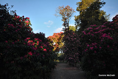 Rhododendrons in Kilmacurragh. (mcgrath.dominic) Tags: rhododendrons botanicgardens kilmacurragh cowicklow