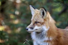 Fox in the woods (Seventh day photography.ca) Tags: redfox fox male mammal animal nature wildanimal wildlife fall autumn ontario canada seventhdayphotography chrismacdonald