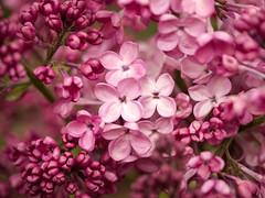 Die Fliederblütenstände, die nach einer Frostnacht wie welk aus - After a frosty night, the lilac blossoms looked faded, but they recovered quickly in the sun (riesebusch) Tags: berlin garten hornetweg11 marzahn