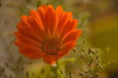 Primavera. (Amparo Hervella) Tags: madrid españa flor macro macrofotografía d7000 nikon nikond7000 comunidadespañola lentemacro naturaleza