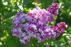 Central Experimental Farm Lilacs 018 (Chrisser) Tags: flowers ontario canada nature garden spring gardening ottawa fourseasons closeups lilacs syringa oleaceae centralexperimentalfarm canonefs1855mmf3556islens canoneosrebelt1i