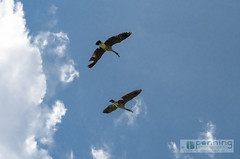 Cloud Flyin' (MattPenning) Tags: blue sky up clouds flying geese spring pentax flight bluesky goose potd k5 springfieldillinois skyclouds mattpenning kmount mattpenningcom abrahamlincolnmemorialgarden penningphotography justpentax pentaxsmcda50135mmf28edifsdm pentaxk5
