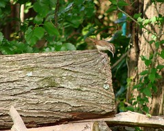 The Wood Pile (mcnod) Tags: may wren ferndale carolinawren 2013 mcnod