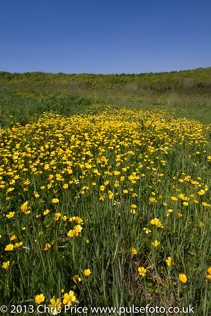 Great Castle Head, Pembrokeshire, Buttercups