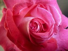 ❤•*♪♫* La vie en rose *♫♪*•.❤ (antonè) Tags: sardegna rosa natura fiore sassari amore edithpiaf romantica lavieenrose canzone antonè