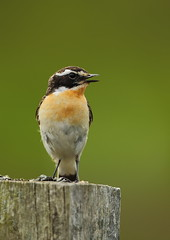 Whinchat (Martial2010) Tags: canon angus whinchat