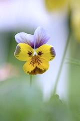 Viola Sweeties (haberlea) Tags: plant flower green yellow garden pansy mygarden viola oneflower violasweeties