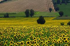 il sorriso dell'estate (raffaphoto) Tags: estate campagna conero marche ancona girasoli 2013