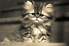 Mistigri (Lucien Vatynan) Tags: blackandwhite bw pet animal cat canon persian kitten chat noiretblanc nb chaton persan canoneos60d