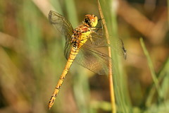 Common Darter 2 (former-extog) Tags: dragonfly wfc bridgend commondarter sympetrumstriolatum 2013 penybontarogwr unature welshflickrcymru kenfigpool bbcwalesnature bymikemccarthy kenfignnr canonef100mmf28lmacroisusm ©mikemccarthy