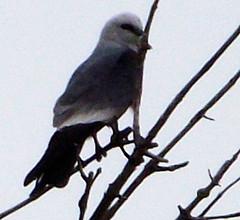 Wichita, Kansas. May 2013 (asterisktom) Tags: park kite bird may ave kansas wichita vogel  cypresspark mississippikite ictiniamississippiensis    2013