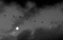 ancient memories... (just call me Mr Lucky) Tags: moon pelicans twilight flight moonlight wideberth