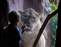 Dialog (bernd obervossbeck) Tags: window zoo child zoom fenster lion kind encounter dialogue junge lwe dialog begegnung zoomerlebniswelt zoomgelsenkirchen
