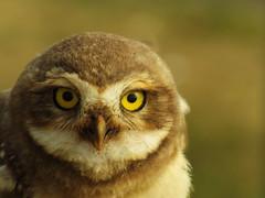 Coruja buraqueira/Burrowing owl (Ricardo Venerando) Tags: life park bird nature animal brasil wildlife natureza aves explore abc discovery soe naturesfinest ornitologia conservacion nationalgeografic platinumphoto abcpaulista flickr10 diamondclassphotographer ysplix grandeabc goldstaraward ricardovenerando