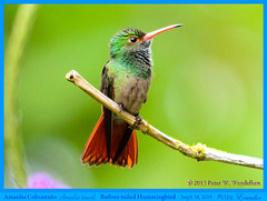 RUFOUS-TAILED HUMMINGBIRD Amazilia tzacatl Perching Near Flowers at the Milpe Bird Sanctuary in Northwestern ECUADOR. Hummingbird Photo by Peter Wendelken. (Neotropical Pete) Tags: ecuador hummingbird ngc colibri picaflor rufoustailedhummingbird amaziliatzacatl pichincha amazilia chupaflor ecuadorbirds southamericanbirds neotropicalbirds milpe milpebirdsanctuary sanmigueldelosbancos ecuadorhummingbirds mygearandme rufoustailedhummingbirdphoto peterwendelken hummingbirdphotobypeterwendelken ecuadorphoto southamericanhummingbirds rufoustailedhummingbirdinecuador amaziliacolicastáño santuariodeavesmilpe milpehummingbirds