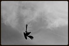 Pigeon (Zelda Wynn) Tags: inspiredbyalfredstieglitz artgalleryofnsw zeldawynnphotography blackwhite cloudscape troposphere weather auckland scenic skies pigeon flying bird