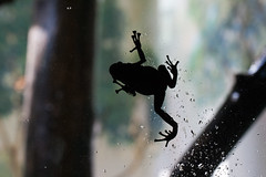"Frog climbing on window 3 • <a style=""font-size:0.8em;"" href=""http://www.flickr.com/photos/30765416@N06/10548340765/"" target=""_blank"">View on Flickr</a>"